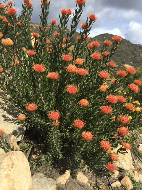 a passion for flowers leucospermum the hawaiian hybrids