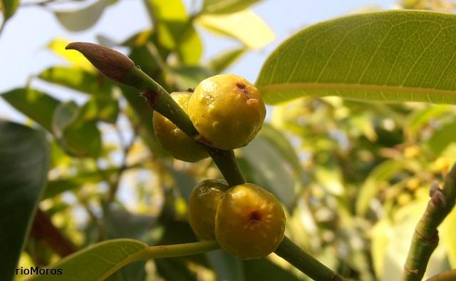Higos de Ficus de hoja estrecha Ficus binnendykii
