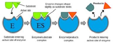 Model Interaksi Enzim Substrat 2