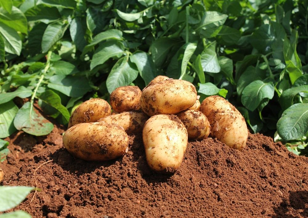 Fiche technique : Culture de la pomme de terre