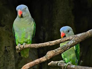 Burung Indonesia Mirip Lovebird