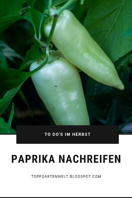 Paprika- und Chilischoten im Herbst nachreifen lassen #paprika #chili #nachreifen #todosimherbst #herbstarbeiten #ernte #garten #gartenarbeiten - Gartenblog Topfgartenwelt