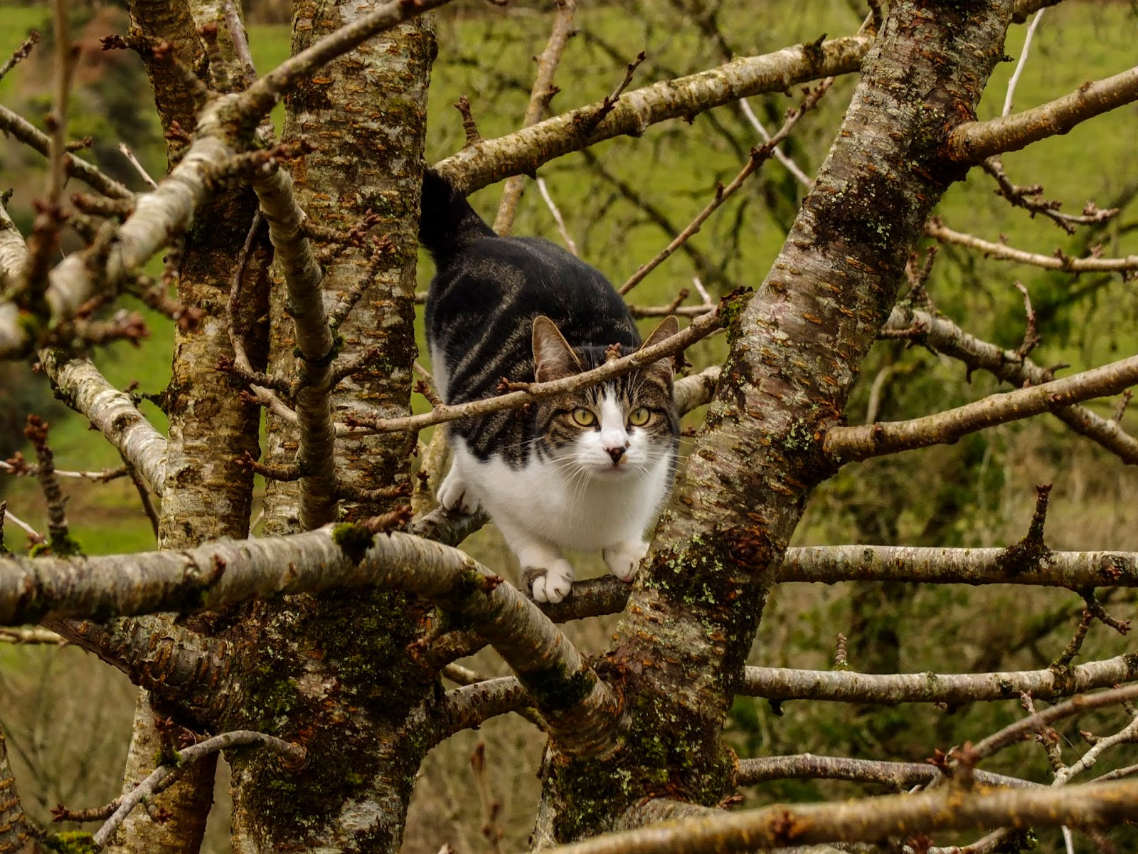 A cat sitting inside a bare cherry tree.