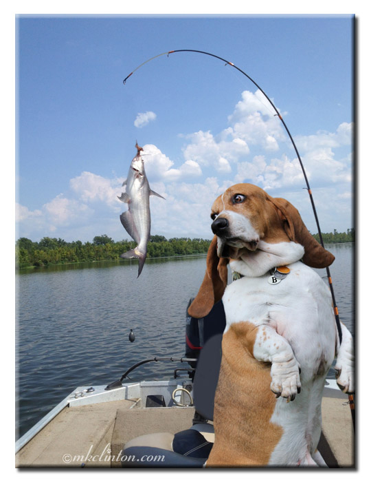 Bentley Basset Hound with a fish on his pole