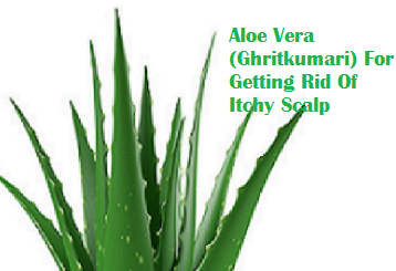 Aloe Vera (Ghritkumari) For Getting Rid Of Itchy Scalp