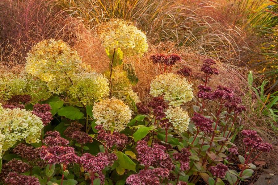 combinacion plantas otoño, flores rosas de sedum, flores blancas hydrangea y gramineas