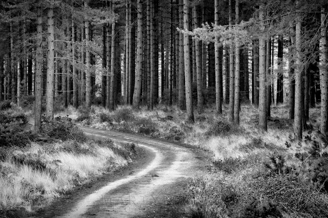 Beautiful black and white image of a mighty pine forest and curving pathway through it