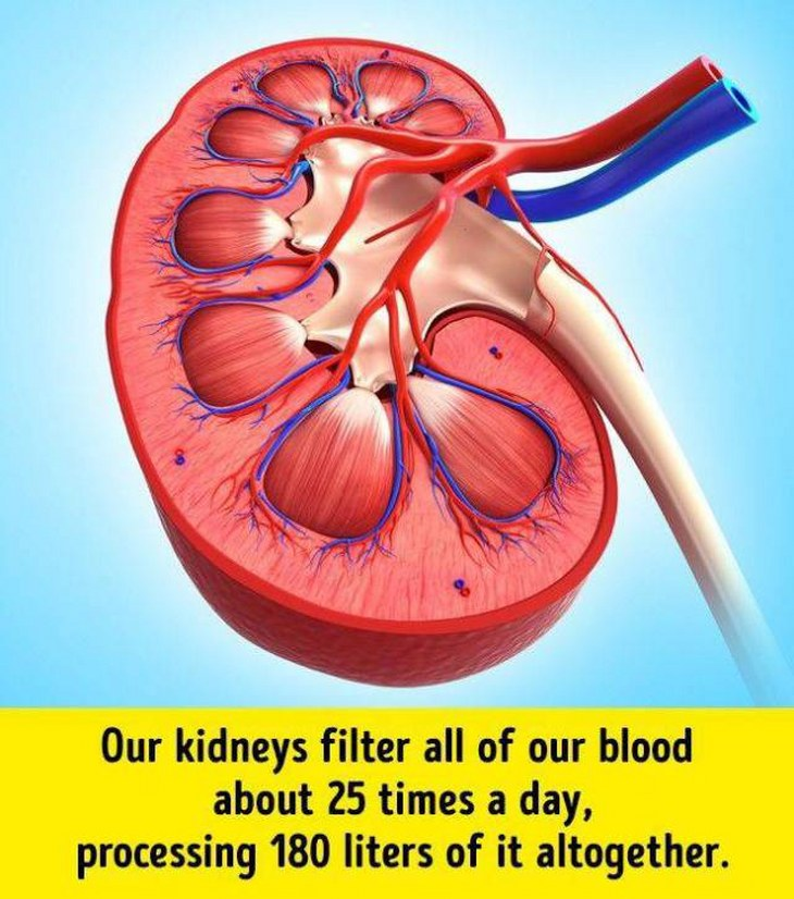 kidneys filter our blood Every day, our two kidneys filter about 120 to 150 quarts of blood to produce about 1 to 2 quarts of urine, composed of wastes and extra fluid 2 healthy kidneys help regulate blood pressure, remove waste and water, signal your body to make red blood cells, and help regulate growth in children.