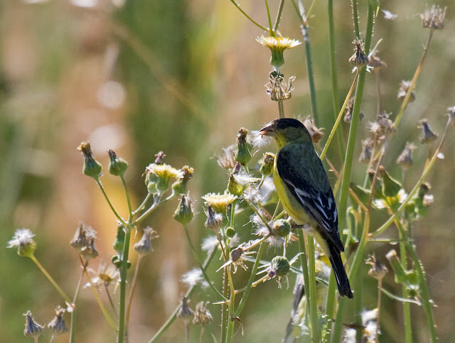 San Diego, California Backyard bird: Lesser Goldfinch