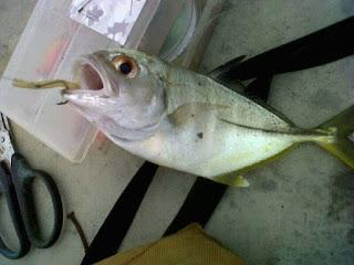 jenis ikan air payau-baby gt