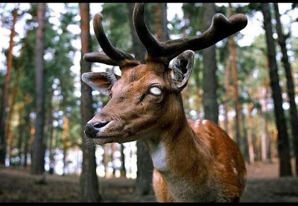 """La enfermedad del ciervo """"zombi"""" es una amenaza mortal, las autoridades de Estados Unidos buscan una cura."""