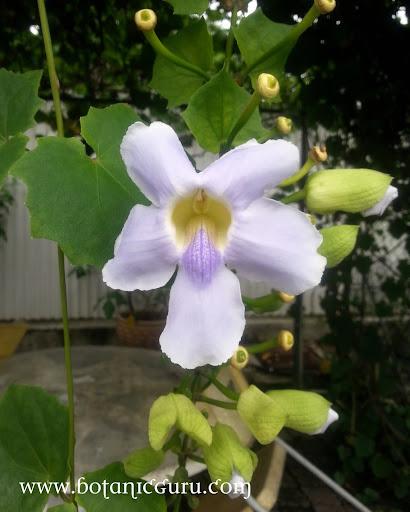 Thunbergia grandiflora, Clock Vine, Skyflower Vine, Blue Trumpet flower front view