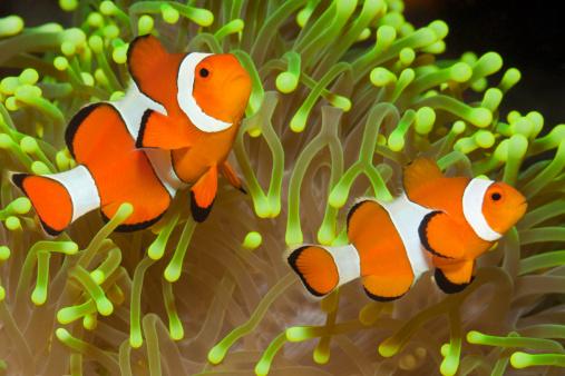Ikan%2Bnemo
