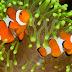 Ikan Giru / Nemo (Amphiprion percula)
