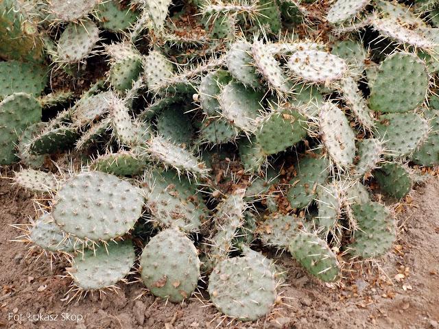kaktusy gruntowe w zimie