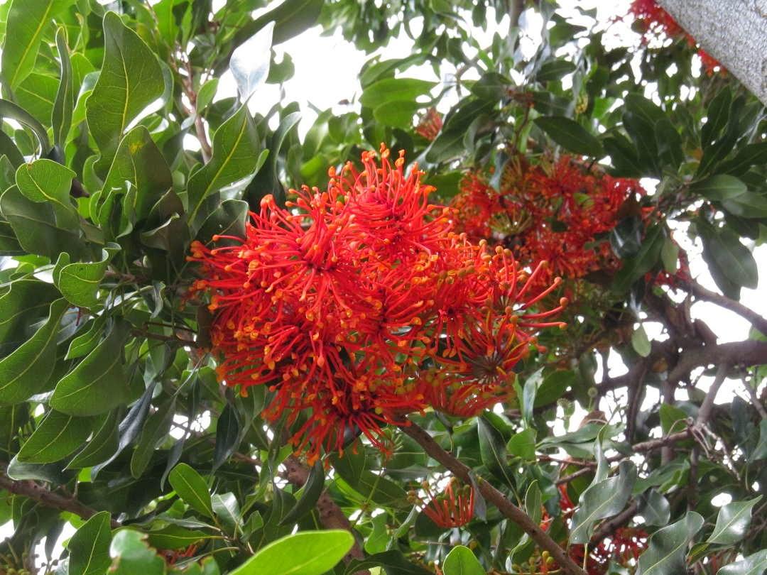 PhyloBotanist: Botany picture #198: Stenocarpus sinuatus