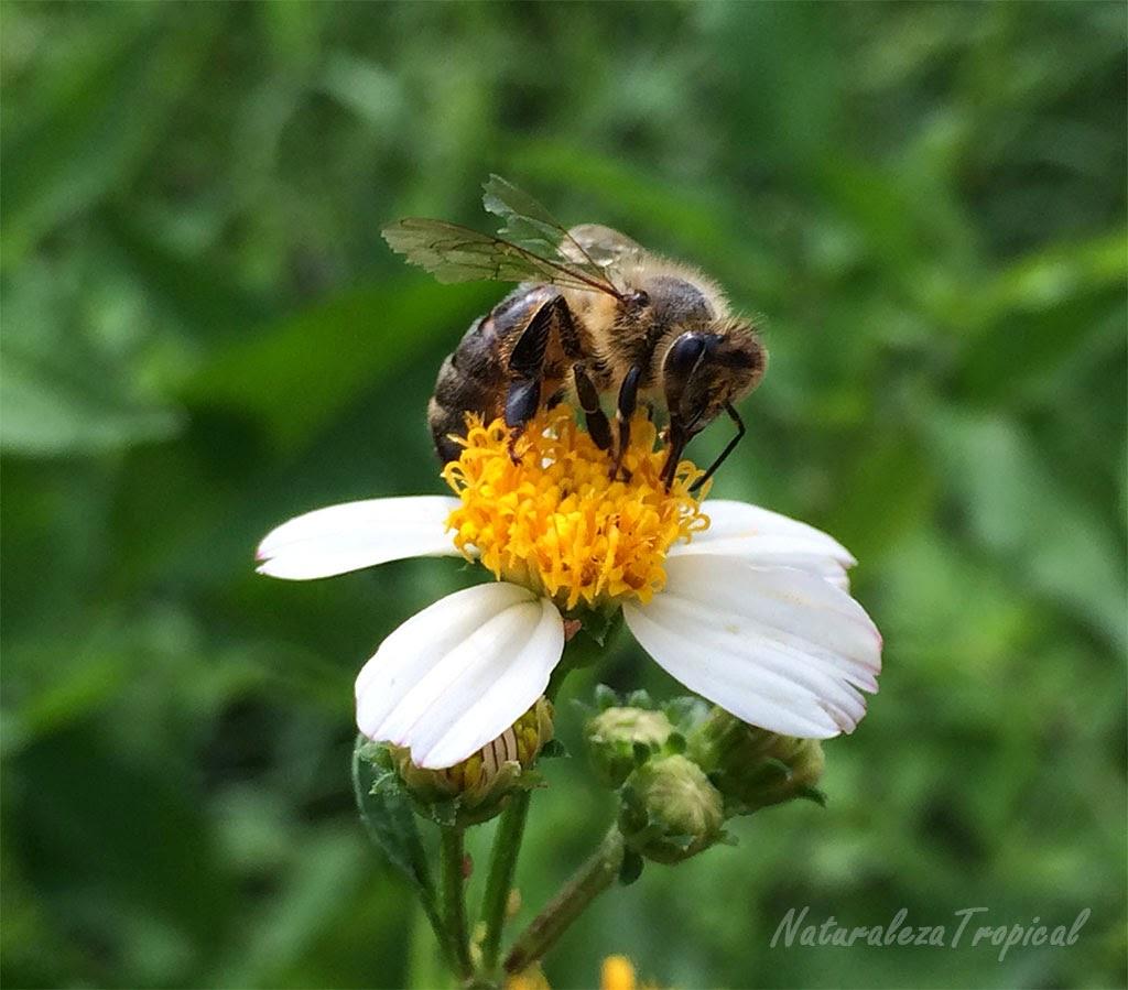 Flor del romerillo siendo polinizada por una abeja