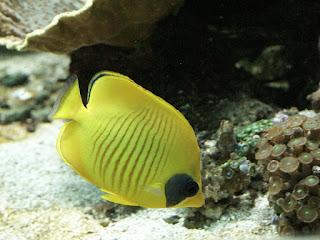 Papillon jaune masqué - Chaetodon semilarvatus - Chaetodon à demi masqué