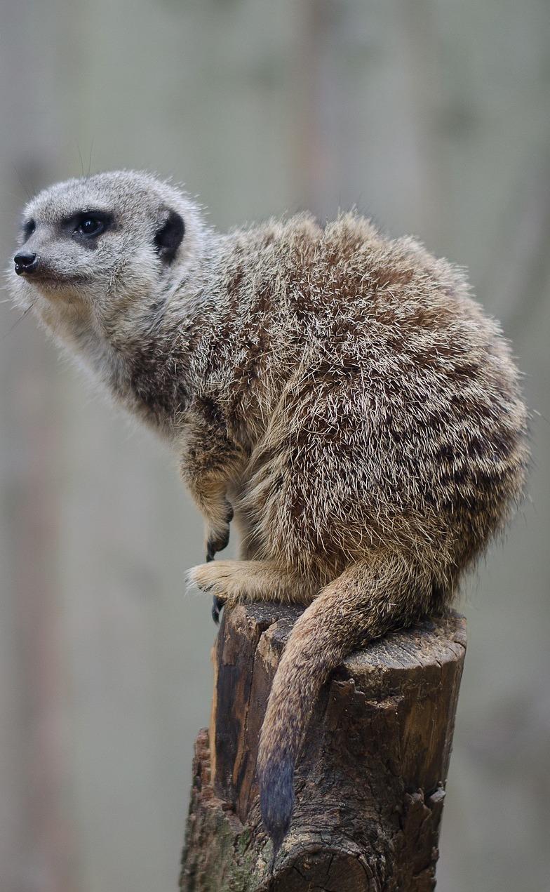 A meerkat on a wood log.