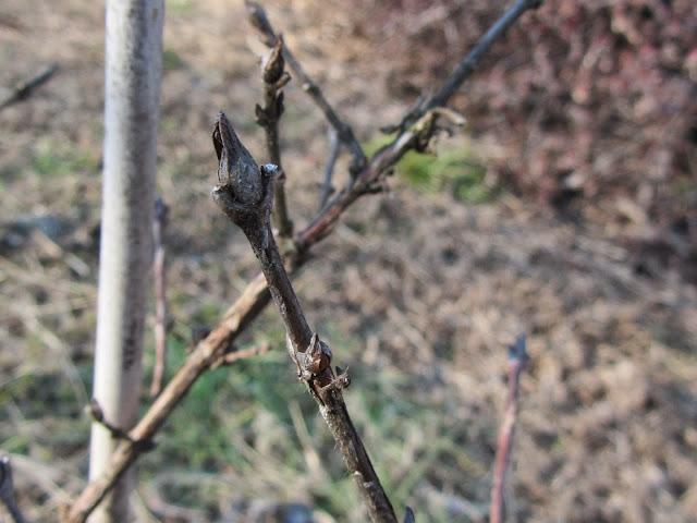 Gemme inverno mirtillo siberiano