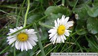 Fleurs de Pâquerettes