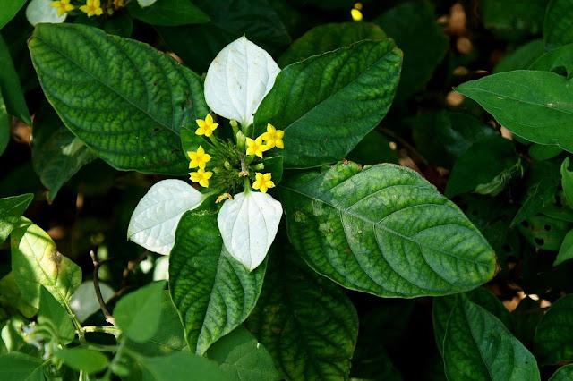 Cây Bướm Bạc - Mussaenda pubescens - Nguyên liệu làm thuốc Chữa Tê Thấp và Đau Nhức