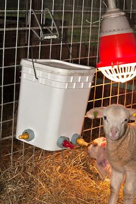 Premier Farm Diary How To Raise Orphaned Or Bottle Lambs Goats