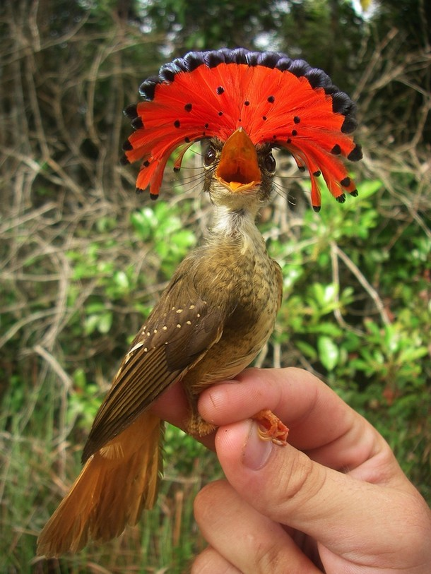 strange animal The Amazonian Royal Flycatcher