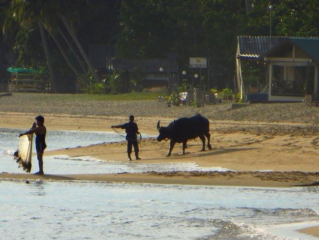 Выгуливают буйвола у море