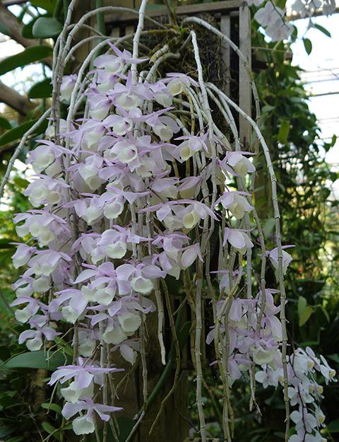 The Orchid Column Dendrobium Aphyllum