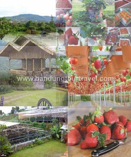 wisata kebun strawberry parongpong, wisata edukasi parongpong, tour parongpong, bandung tour