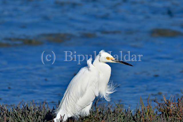 Snowy Egret negotiating wind