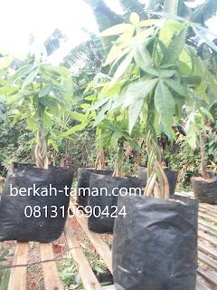 tanaman pachira kepang