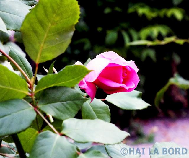 trandafir roz gradina green tea bucuresti