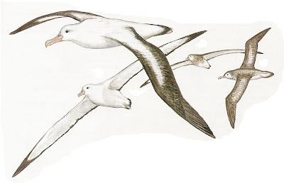 Albatros errante Diomedea exulans