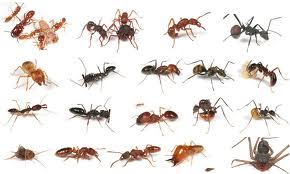 Carpenter Ants Can Destroy Your Home London Ontario Pest