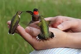 kolibri ninja anakan