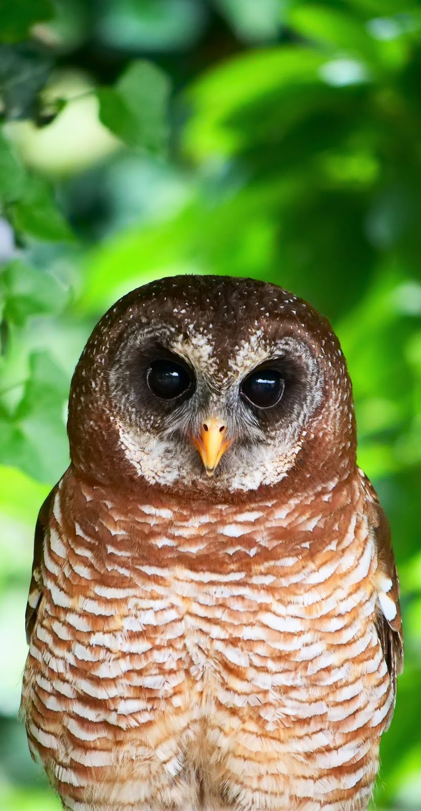 Picture of a African wood owl.