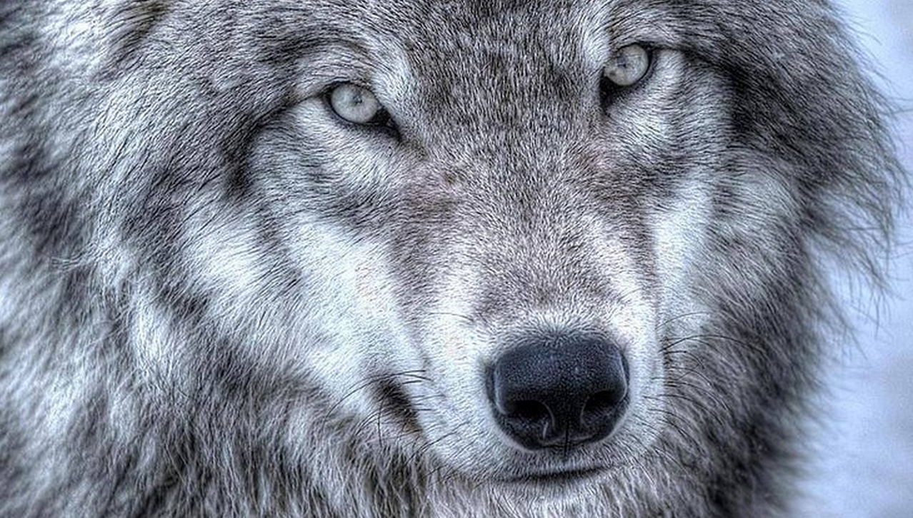 wolves essay On sheep, wolves, and sheepdogs - dave grossman by ltc (ret) dave grossman, author of on killing honor never grows old, and honor rejoices the heart of age.