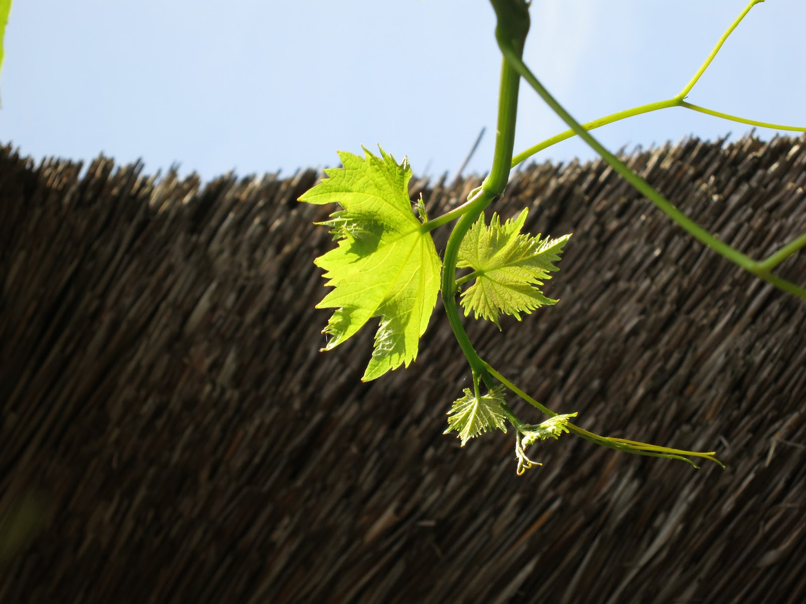Young vine leaves below thatched roof.