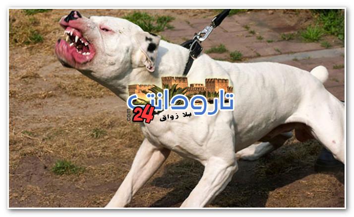 أمن اولاد تايمة يوقف عنصر عصابة تستعمل كلب بيتبول لسرقة المواطنين