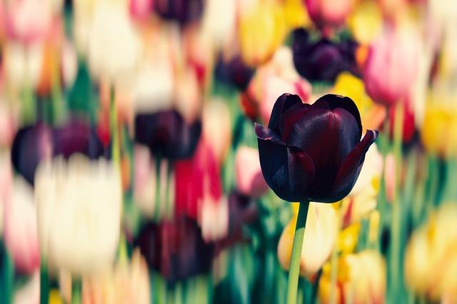 hoa tulip dep nhat 2