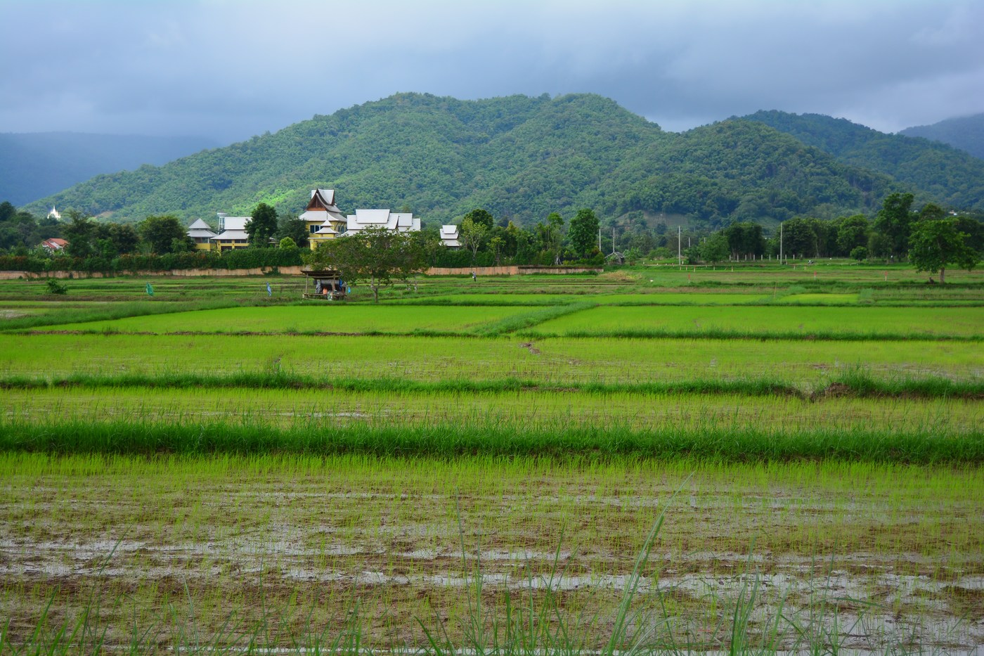 Des rizières à l'entrée du site, juste en bordure du lac.