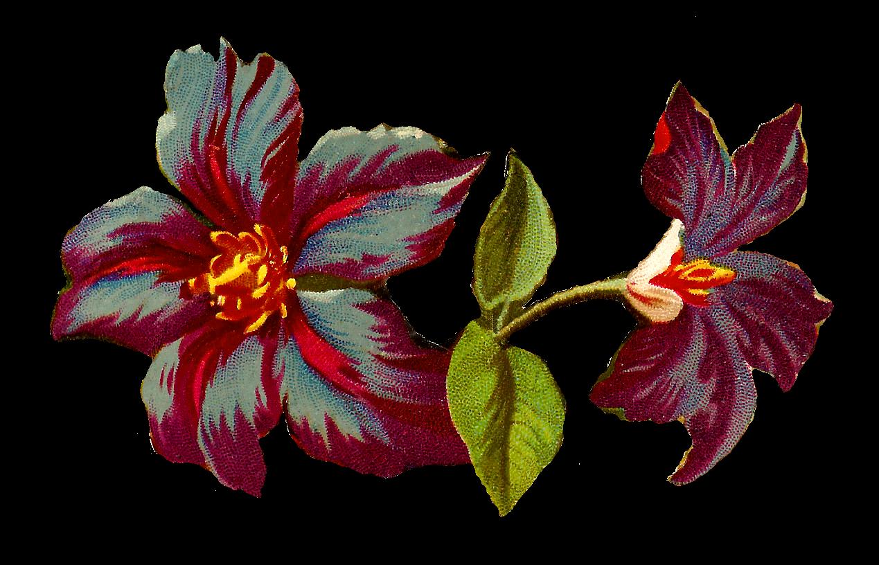 Antique Digital Clematis Flower Image Jackmanii Floral Illustration