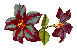 flower clematis jackmanii illustration