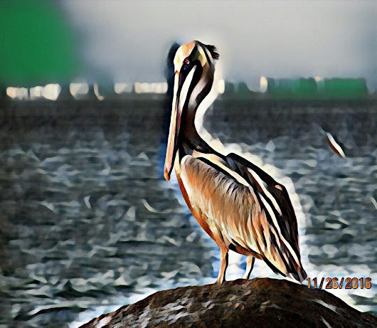 A FASCINATION WITH PELICANS