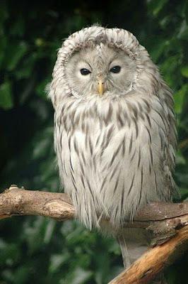 Burung Hantu Yang Seram Tapi Comel