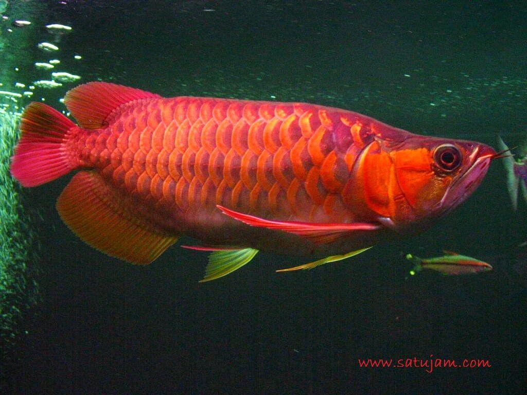 Gambar, Foto Jenis Ikan Hias Air Tawar yang Berumur Panjang- Ikan Arwana