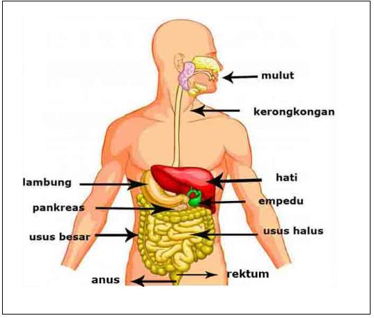 Materi IPA Tentang Alat Pencernaan Makanan Serta Gangguannya