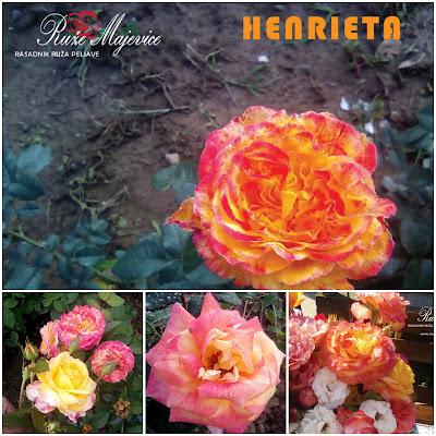 Ruže Bosna i Hecegovina